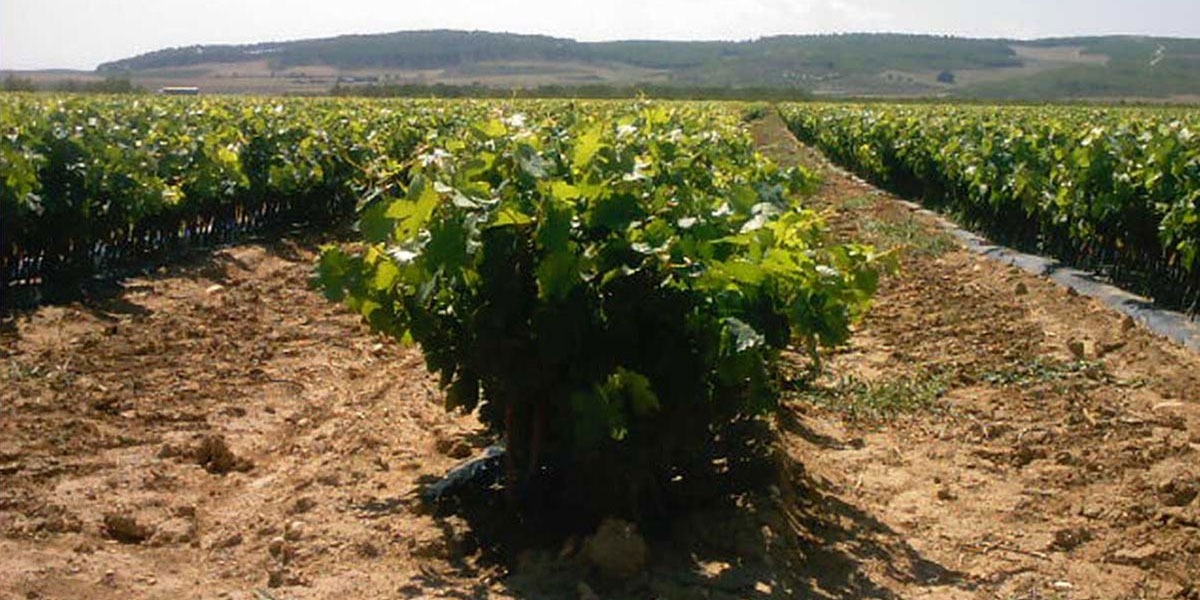 viveros nava viveros de vid plantas de vi a certificadas